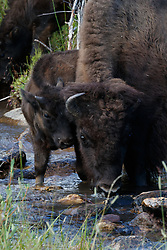 Bison drinking in stream, Vermejo Park Ranch, New Mexico, USA.