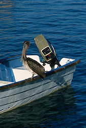 Pelican sitting on a boat in Mexico