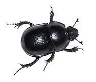 Dor Beetle - Geotrupes stercorarius