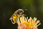 A small sweat bee (halictus ligatus) on flower stamens, Western Oregon.