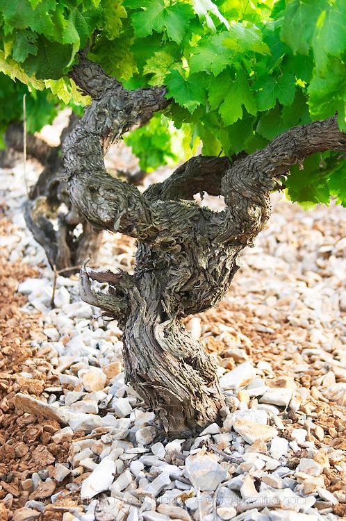 Chateau de Lascaux, Vacquieres village. Pic St Loup. Languedoc. Cinsault vine variety. Tourtourelle area. Terroir soil. France. Europe. Vineyard. Soil with stones rocks.