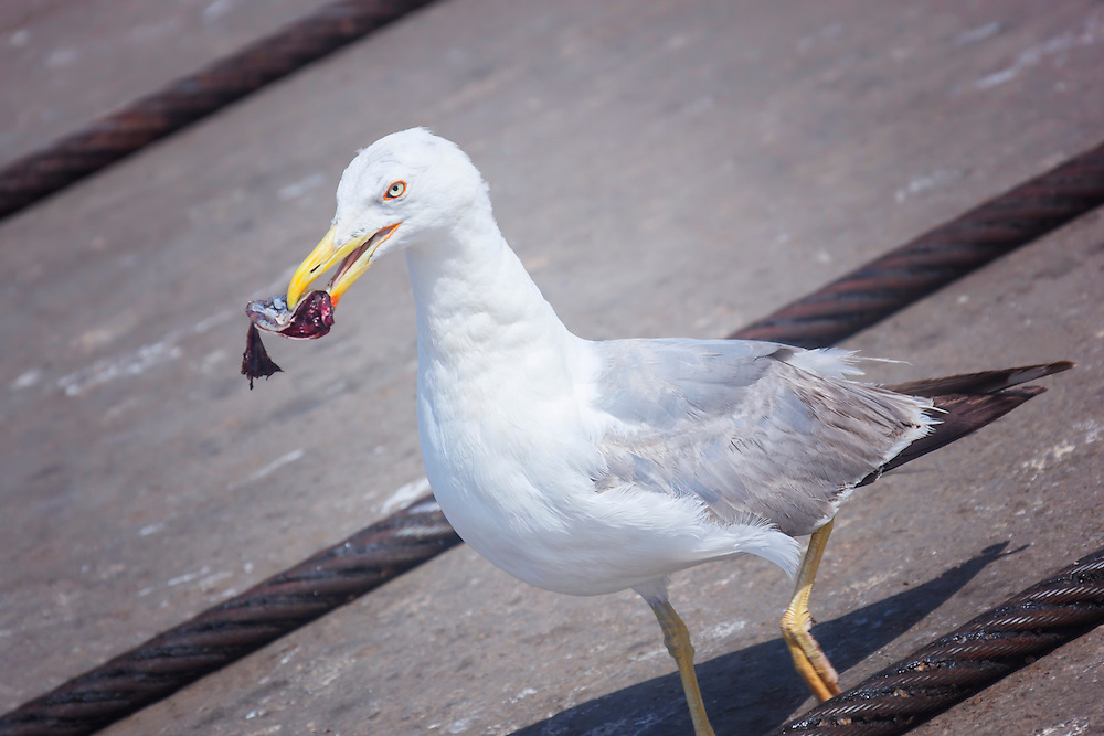 Seagull eating a piece of fish.