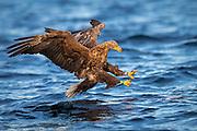 White-tailed eagle diving for a fish. Look at the concentrated eyes. Taken in early morning light | Havørn stuper etter en fisk. Se på de konsentrerte øynene. Tatt i mykt morgenlys.