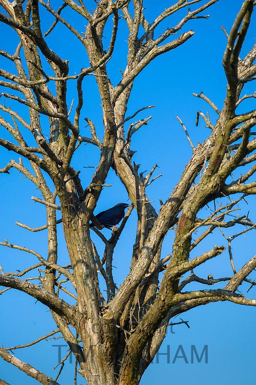 Jackdaw bird, Corvus monedula, member of the crow family, among bare tree branches in UK