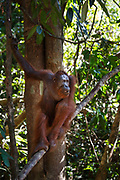 A young adult orang-utan sits in a tree on Salat Island pre-release site, run by the Borneo Orangutan Survival Foundation BOSF, in Central Kalimantan, Borneo, Indonesia on 27th May 2017. In this last stage of rehabilitation, the animals are observed as they learn how to forage for their own food and live independently. The island was established in partnership between BOSF and PT SSMS, a local palm oil company, who are both members of the Roundtable on Sustainable Palm Oil.