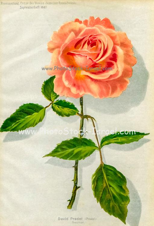 Hand painted and coloured Bouquet of Orange (Salmon) roses 1887 from Rosen-Zeitung, Organ des Vereins Deutscher Rosenfreunde, 1887 [Periodical of the German Rose Society (Vereins Deutscher Rosenfreunde)] by C. P. Strassheim