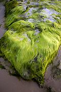 Sea Algae Photographed on the Mediterranean Shore, Israel