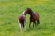 Bay horse and skewbald horse mutual grooming in a paddock, Oxfordshire, England