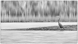 A bird walks the shoreline at Busch Wildlife