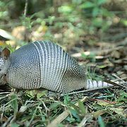 Armadillo, (Dasypus novemcinctus) Portrait of adult grubbing for insects in forest. Captive Animal.