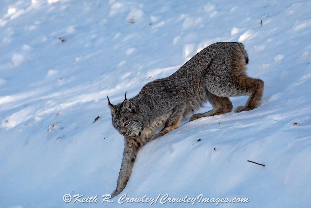 Canada Lynx in winter habitat