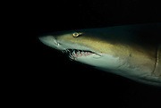 Grey nurse shark (Carcharias taurus) in deep rocky gutter, photographed off South West Rocks, New South Wales, Australia, Pacific Ocean.
