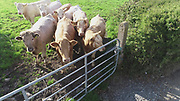 charlios, heffers, beef, cattle, grass, field, louth, aerial photos