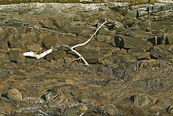 Maine rocky coast Drift wood