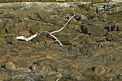 Maine rocky coast Drift wood