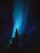 Curtains of northern lights above birch and spruce forest near Cottonwood Creek, Matanuska Valley, Alaska.