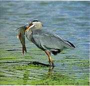 Fish catch by Great Blue Heron, John Heinz National Wildlife Refuge, Tinicum, Philadelphia