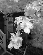 Dogwood flowers behind Pavilion II at the University of Virginia in Charlottesville, Va. Photo/Andrew Shurtleff Photography, LLC
