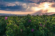 Rosa damascena plantation in Valley of Roses region