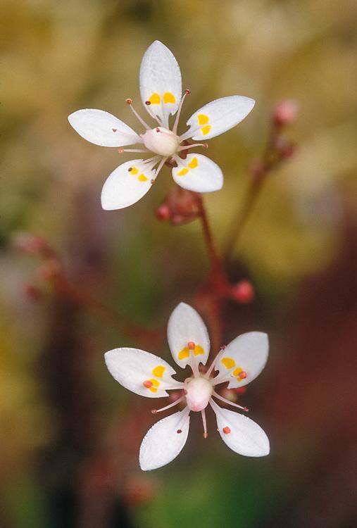 Saxifrage wildflowers, Alaska USA