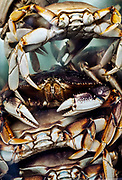 Live Dungeness crab holding tank, Icy Straight Point, AK, Alaska