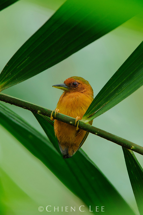 The Rufous Piculet (Sasia abnormis) is the smallest woodpecker in Borneo.  Here a bird is making its territorial call by drumming on a spiny rattan petiole. Sabah, Malaysia (Borneo).