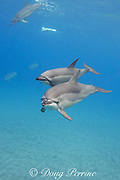 Hawaiian spinner dolphins or Gray's spinner dolphin, Stenella longirostris longirostris, off Ho'okena Beach, South Kona, Hawaii ( the Big Island ), USA ( Central Pacific Ocean ) (minor digital modifications)