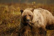 Grizzly Bear (interior Alaska), Ursus arctos; autumn, alpine tundra, hibernates in winter, Denali National Park, Alaska, ©Craig Brandt, all rights reserved; brandt@mtaonline.net