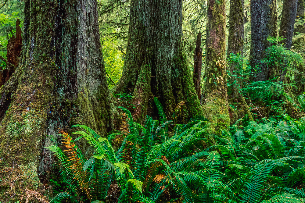 Collonade of evergreen trees growing on a decomposing fallen log, overcast light, Spring, Queets Rain Forest, Olympic National Park, Washington, USA