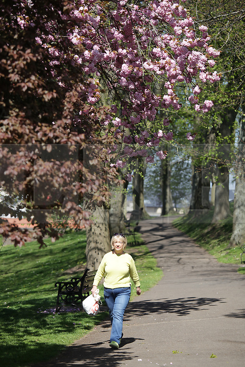 © Licensed to London News Pictures. 21/04/2015. Bristol, Avon, UK. A woman walking under Cherry Blossom in the park on Brandon Hill in Bristol today, 21st April 2015. The south west of England is set for more warm temperatures and plenty of sunshine today. Photo credit : Rob Arnold/LNP