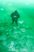 photographer Nathan Meadows seems to be standing on jellyfish swarm, but is actually free-floating in aggregation of moon jellies, Aurelia aurita, Port Fidalgo, Alaska ( Prince William Sound )