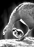 A two-day-old gosling strolls under it's mother's watch in the Australasia unit of Woodland Park Zoo. (Betty Udesen / The Seattle Times, 1992)