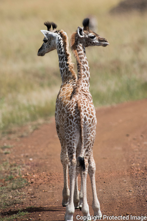Actually there are two baby giraffes. No. This wasn't photoshopped.