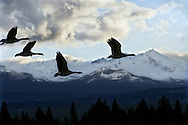 Geese in flight from a small lake near Sisters, Oregon.