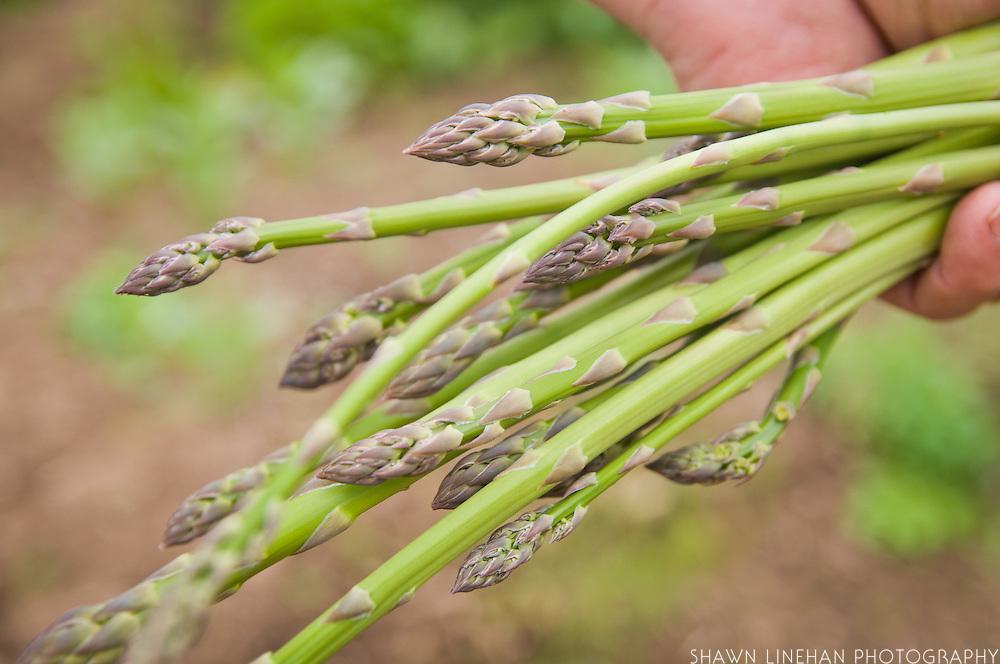 A Master Gardener holds a bunch of freshly harvest organic asparagus.