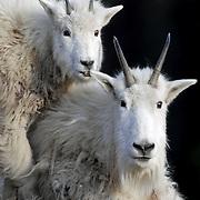 mountain goat, nanny kid mountain goats,
