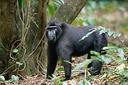 This 30 year old Celebes Crested Macaque is lead the group of 35 apes. | Das dominante Männchen der 35 köpfigen Truppe ist 30 Jahre alt.