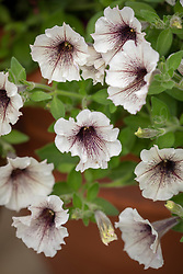 Petunia 'Supertunia Latte'