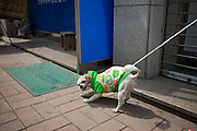 Dog with a green shirt on a leash in front of a shop in Anseong - about 80 Km from the Korean capital Seoul.