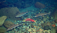 Sockeye Salmon (with Coho Salmon and Rainbow Trout)<br /> <br /> Patrick Clayton/Engbretson Underwater Photography