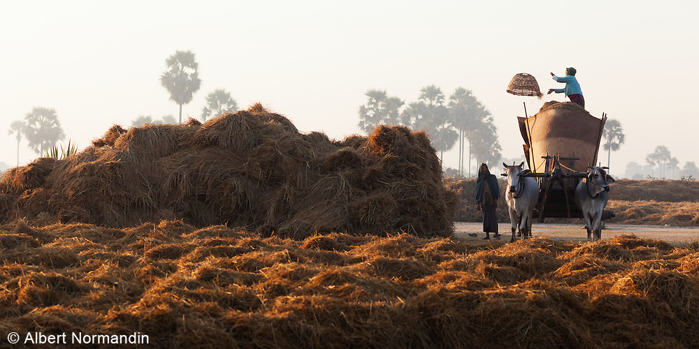 Man and woman loading ox cart with hay, throwing basket at sunrise