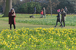 © Licensed to London News Pictures 02/03/2021.        Greenwich, UK. Daffodils in the park. People enjoy some afternoon sunny weather at Greenwich Park in London. Photo credit:Grant Falvey/LNP