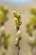 Creeping Willow - Salix repens