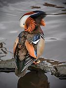 Mandarin Duck, NYC, Central Park