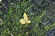 Pale Stagshorn - Calocera pallidospathulata