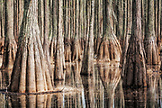 Pond Cypress in spring at Cathedral Bay Heritage Preserve