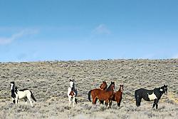 Band of Mustangs, Farson, Wyoming