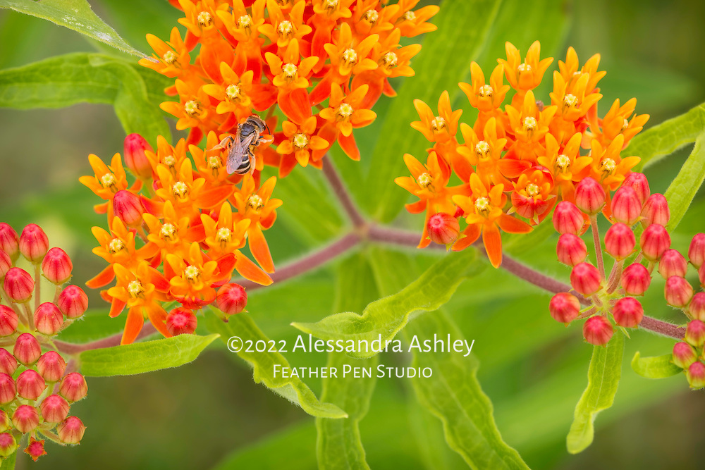 Bee on butterfly weed, a richly hued native wildflower that attracts many pollinators.
