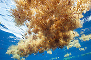 A patch of sargassum, Sargassum sp.,  floats in the Gulf Stream offshore Palm Beach County, Florida, United States.