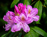 Rhododendron. Image taken with a Fuji X-T2 camera and 100-400 mm OIS lens.